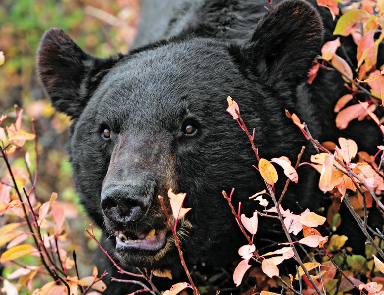 Shooting a bear is not as difficult as some make it seem.