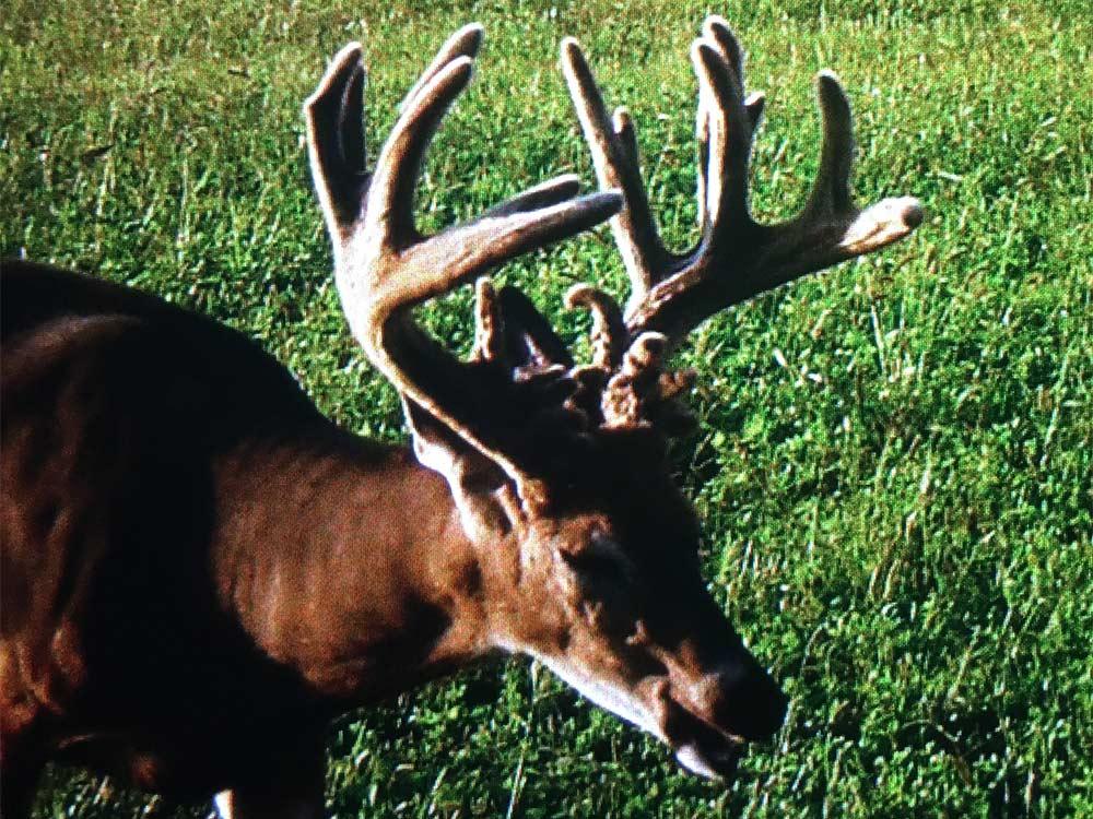 buck with giant velvet antlers