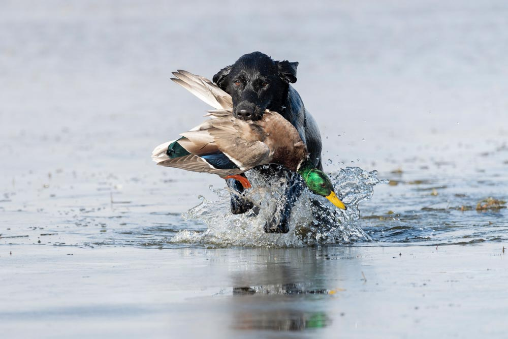 black lab retrieving duck from pond