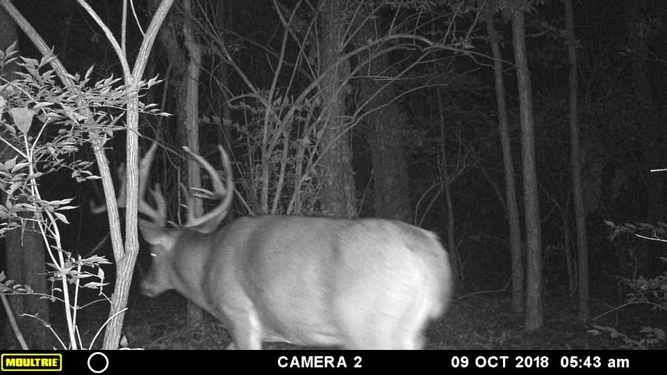 trail cam buck in the woods