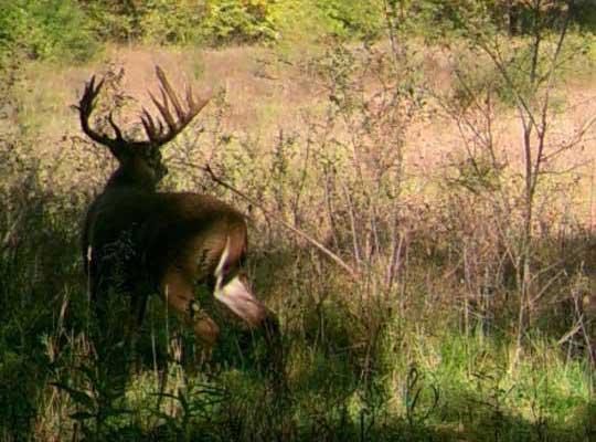 whitetail buck in field
