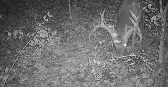 trail cam footage of giant whitetail buck