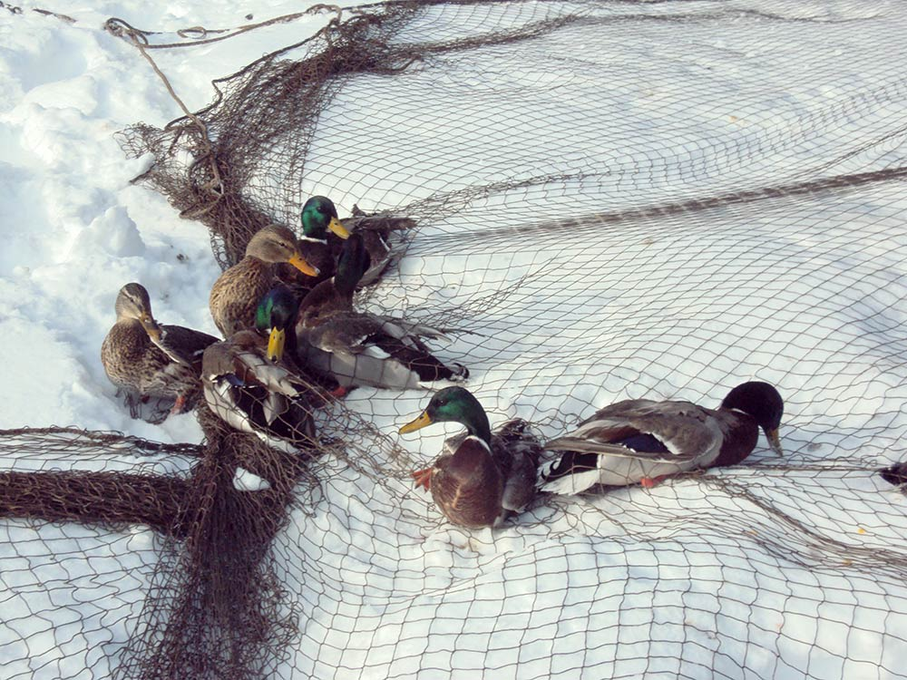mallard ducks in a net