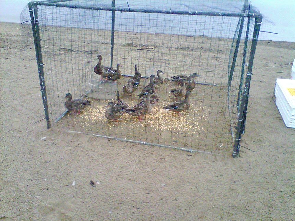 mallards in a cage