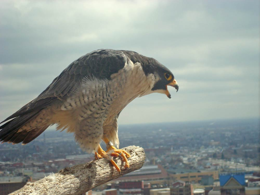 peregrine falcon with bands on its ankles