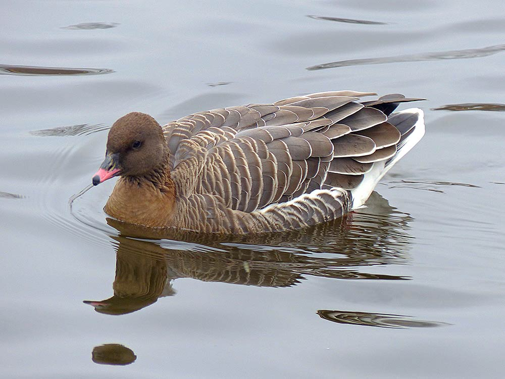 Pink-footed geese in the water