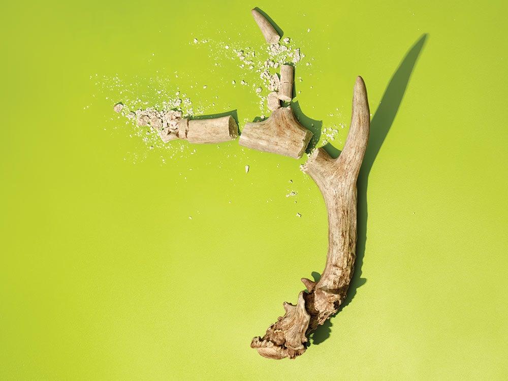 a shattered deer antler