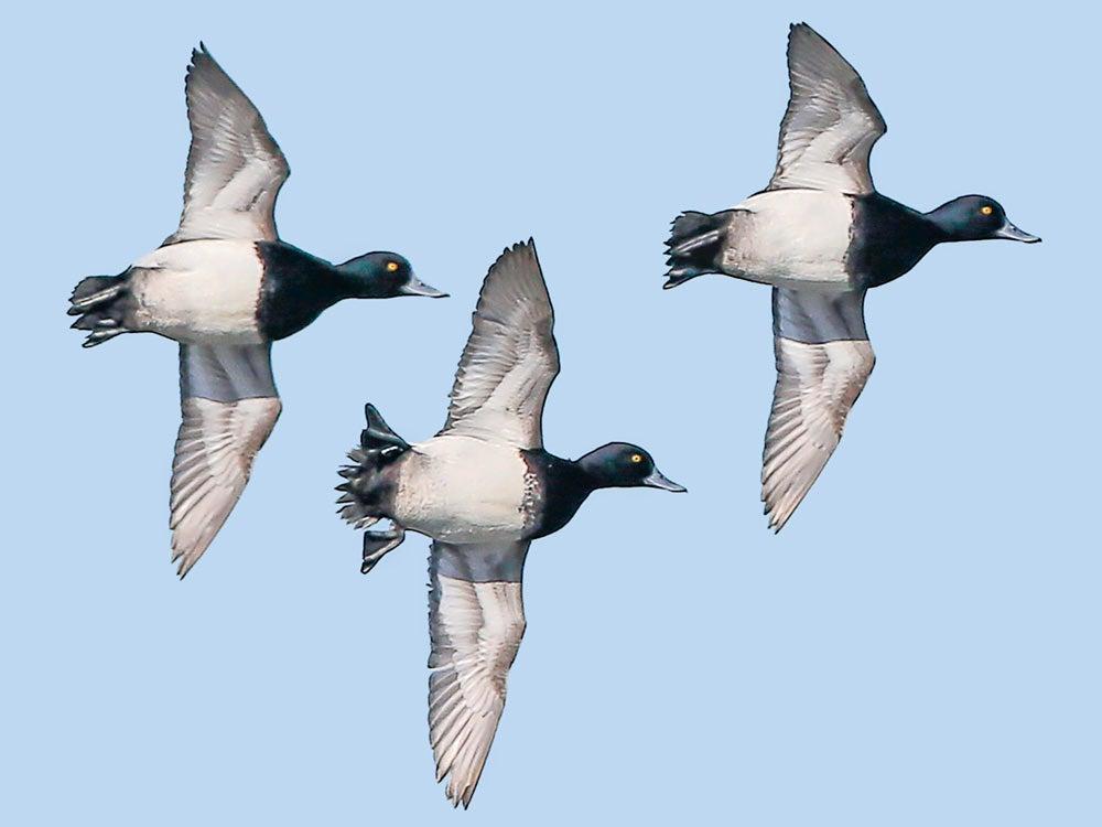 trio of bluegill ducks flying