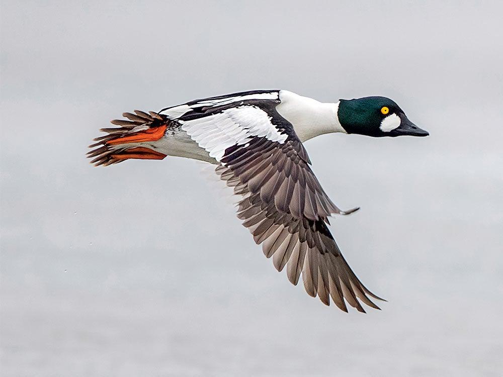 drake golden eye duck flying