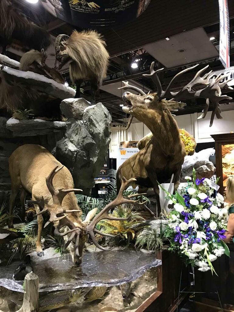 safari club international convention red stag and tahr taxidermy