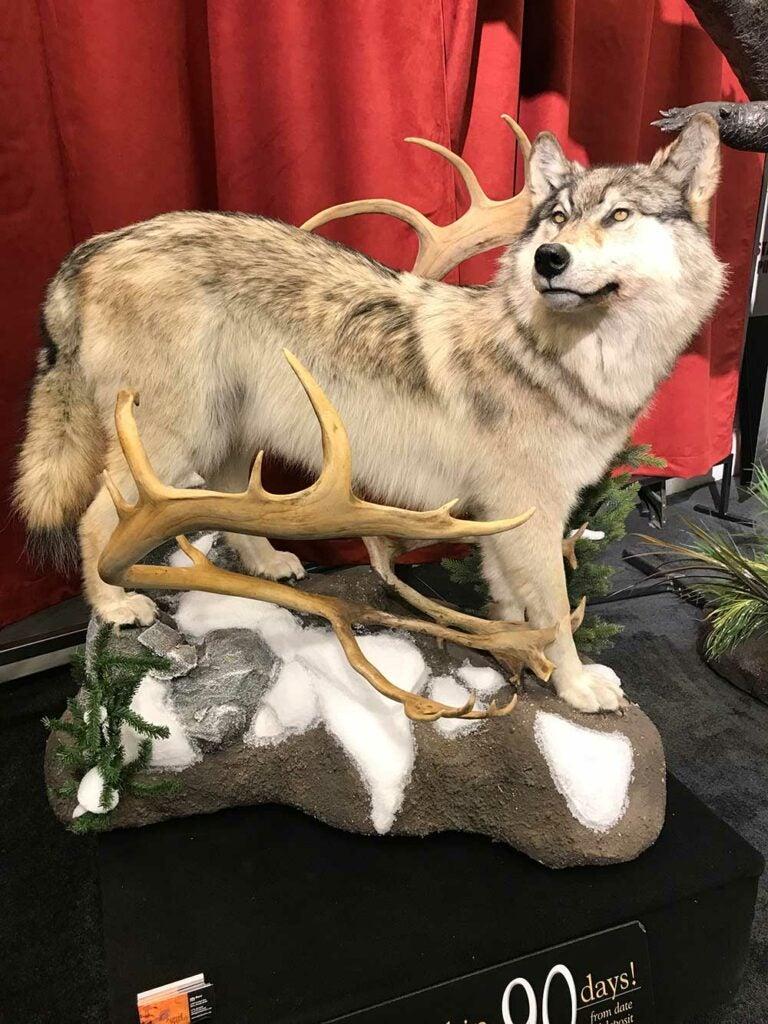 safari club international convention wolf taxidermy