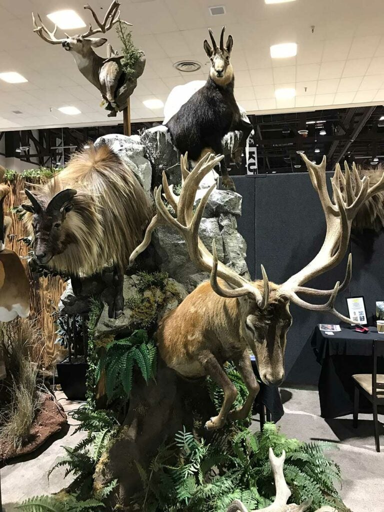 safari club international convention tahr red stag and chamois taxidermy