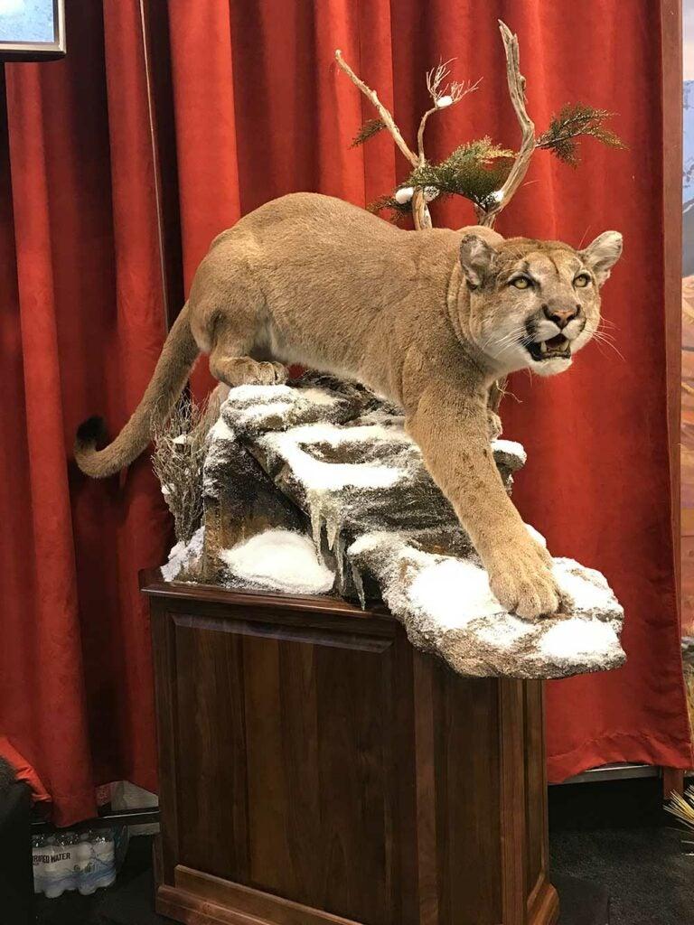 safari club international convention mountain taxidermy