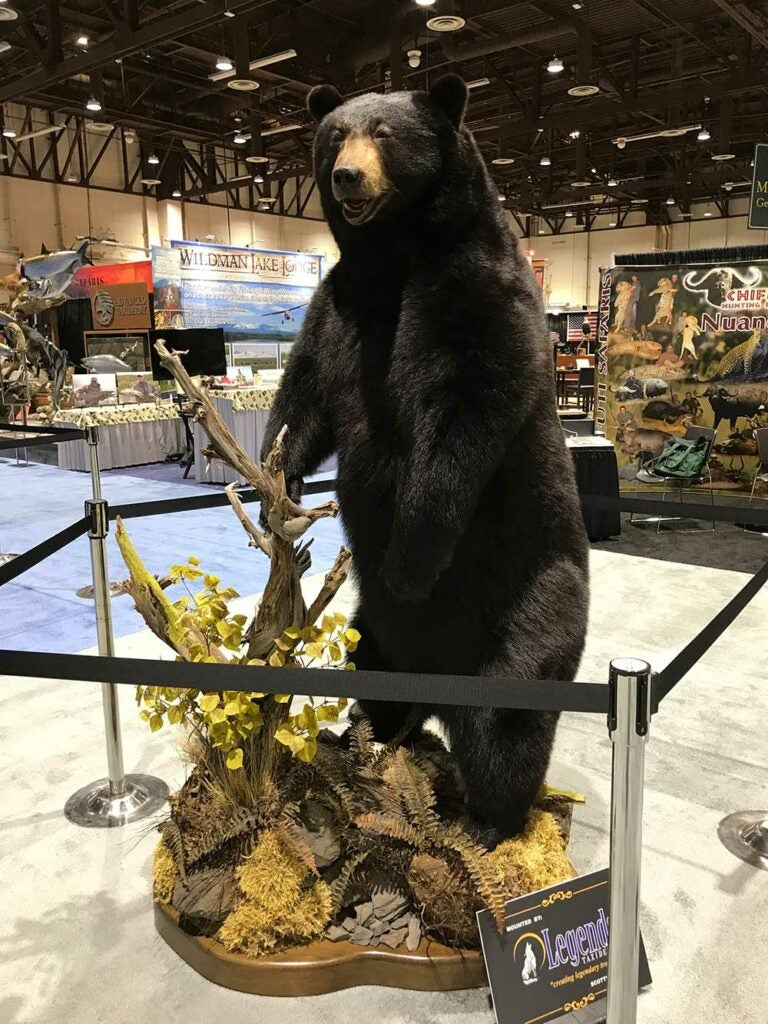 safari club international convention bear taxidermy