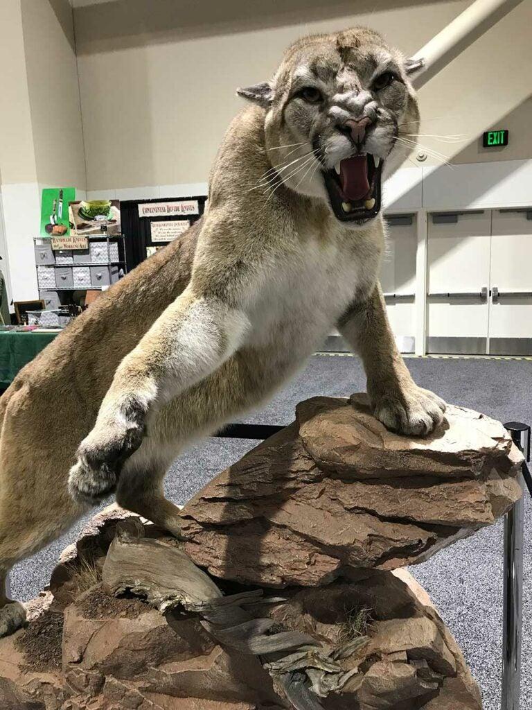 safari club international convention big cat taxidermy