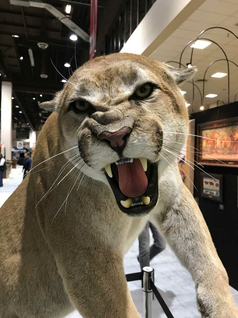 safari club international convention mountain lion taxidermy