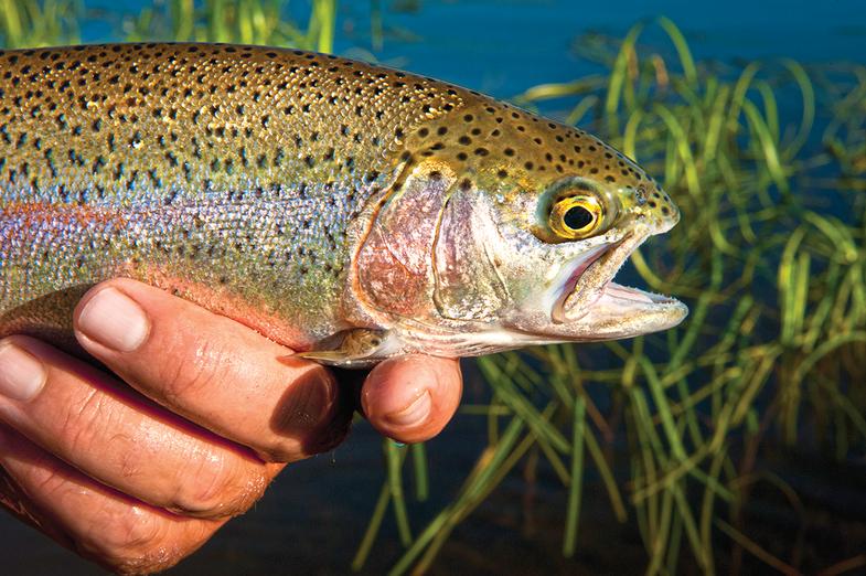 hatchery trout