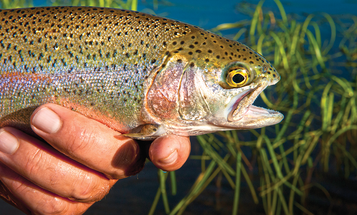 7 Reasons Why Fly Anglers Should Actually Love Hatchery Trout