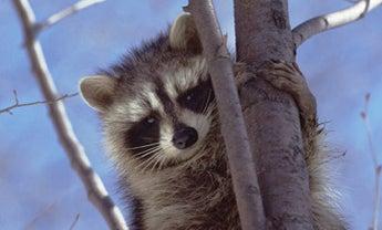 Pipe-Line Raccoons