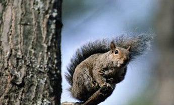 Rimfire Squirrels