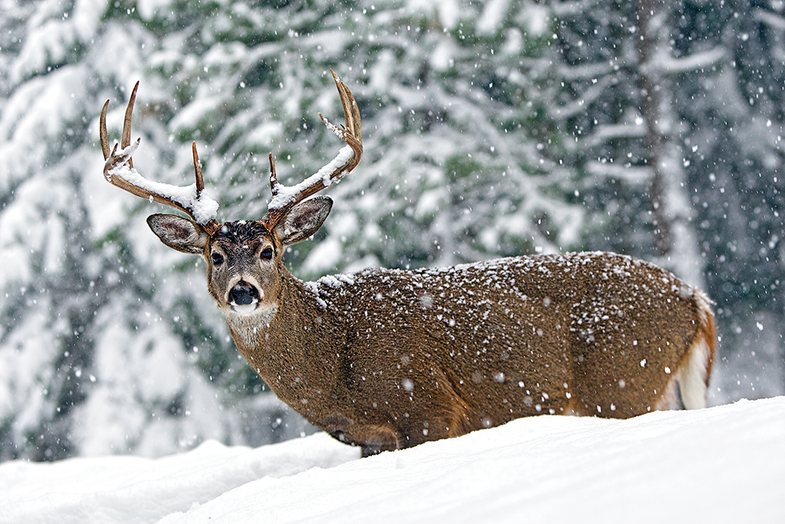winter weather affect whitetails