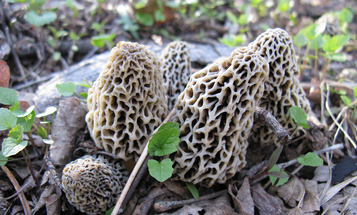 12 Tips for Finding More Morel Mushrooms This Spring