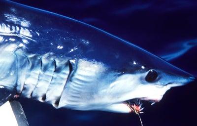 httpswww.outdoorlife.comsitesoutdoorlife.comfilesimport2014importImage2008legacyoutdoorlifefinal_shark1.jpg