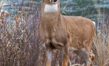 How to Run a River-Bottom Deer Drive