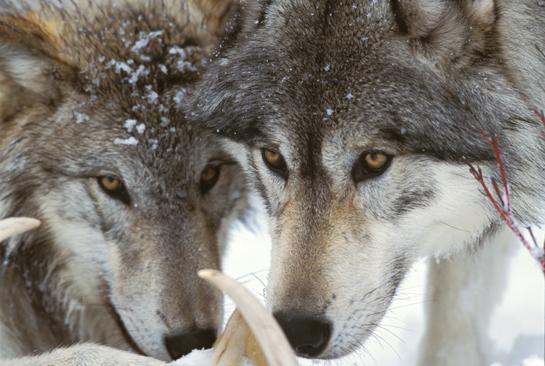 httpswww.outdoorlife.comsitesoutdoorlife.comfilesimport2014importArticleembedwolveswheretohunt.jpg