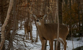 Mild Winter, Large Deer Population Prompts Increased Hunting Permits in 3 Northeastern States