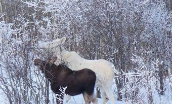 White Moose in British Columbia