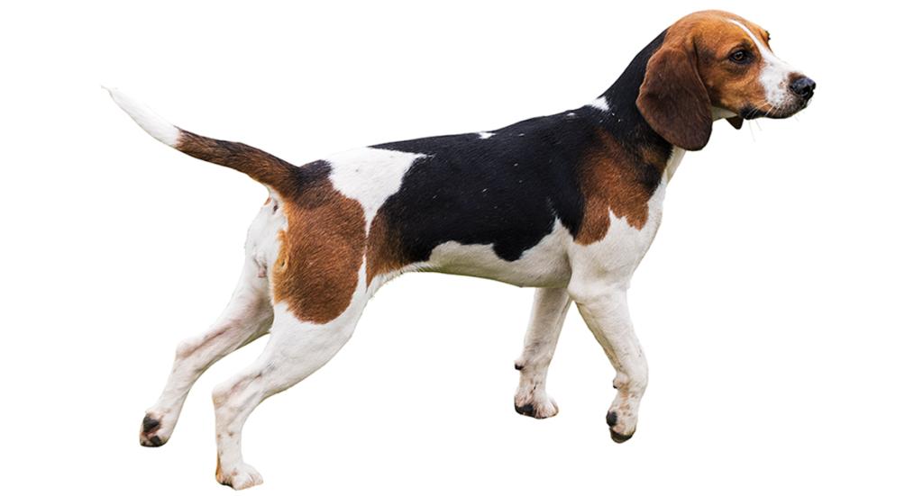 """""""beagle"""""""