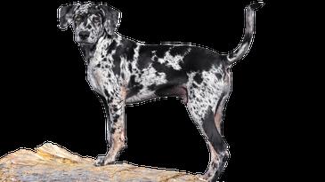 Catahoula hunting dog