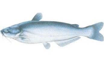 Fish ID: Blue Catfish