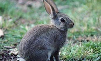 Crock Barbecued Cottontail
