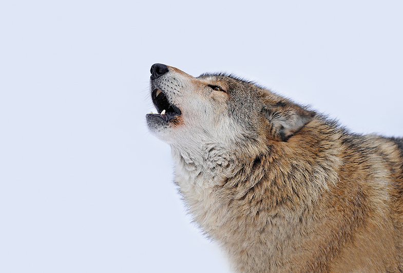 Pack Mentality: Three Proven Wolf-Call Techniques