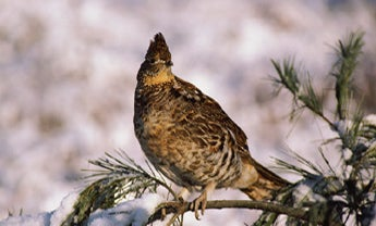 Hit-Or-Miss Grouse