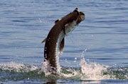 Best Tarpon Fishing Spots in the U.S.