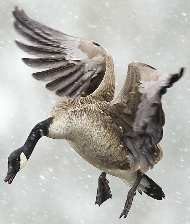 Tactics for Hunting Big River Geese
