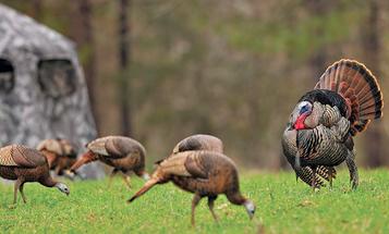 Aggressive Turkey Calling Tactics for 6 Hunting Scenarios