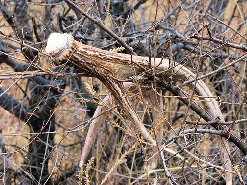 How to Hunt for Deer Antler Sheds