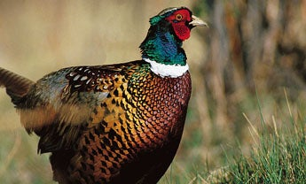 How to Prepare Game Birds