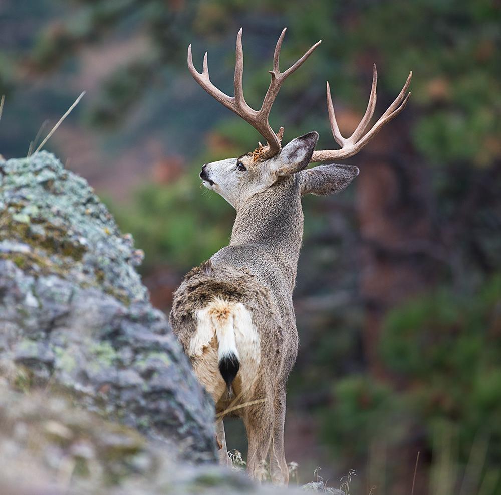 New Bowhunting Tactics For Taking Big Mule Deer Bucks