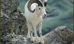 Hunting the Absoroka Ram