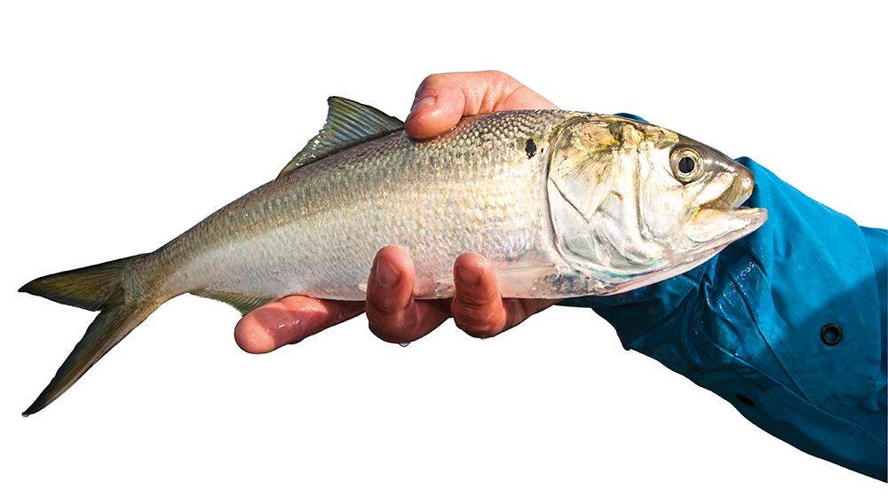 menhaden, bunker, mossbunker, pogy, menhaden fun facts, baitfish, commercial fishing