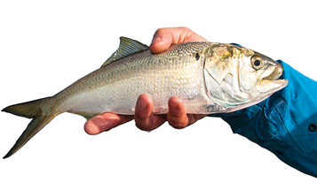 10 Things You (Probably) Didn't Know About Menhaden