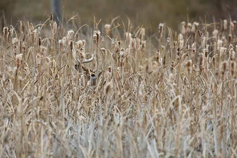 Whitetails: How to Hunt a Big Buck in the Cattails