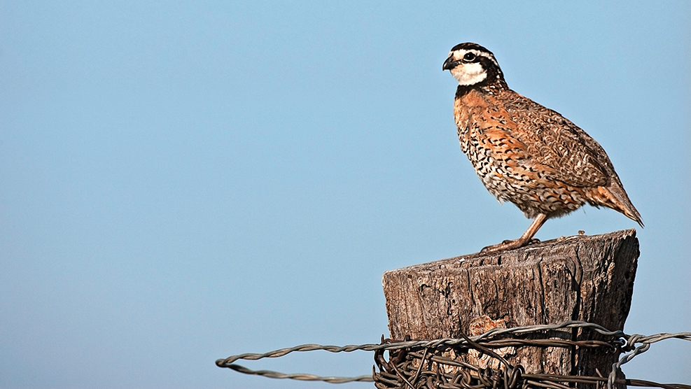 quail hunting, bobwhite quail, scaled quail, mearns quail, california quail, mountain quail, gambel's quail