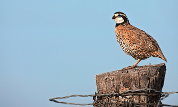 Boom-and-Bust Quail: Finding the Best Hunting Grounds