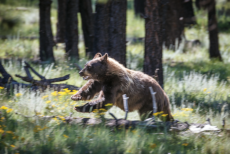 How to Run a Bear Drive